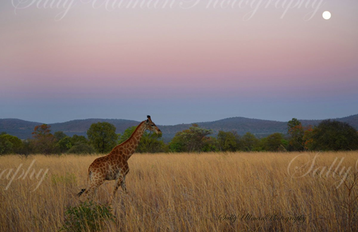 Giraffe Moonlight