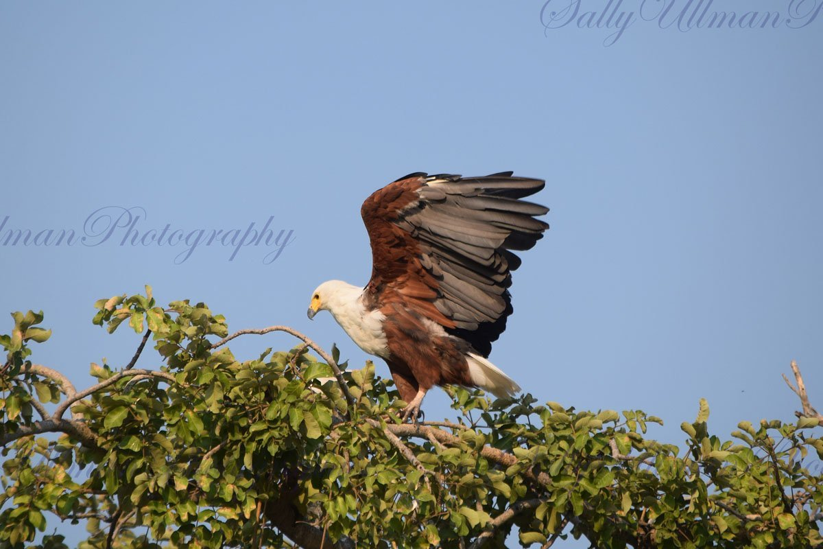 African Eagle 2
