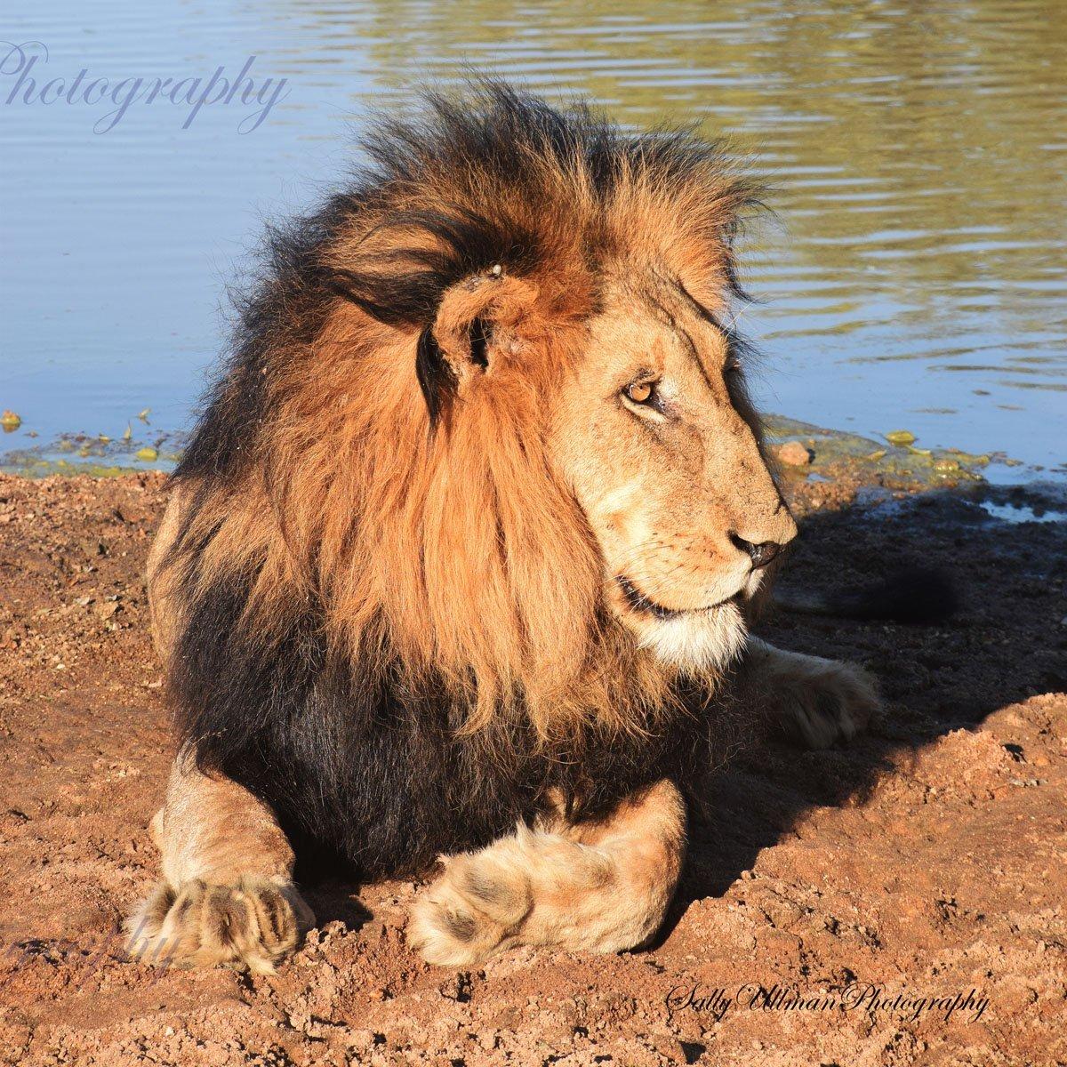 Lion Wake